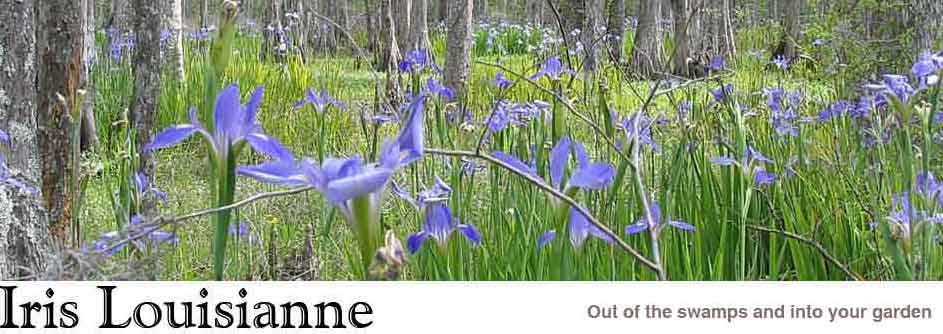 Iris Louisianne